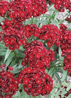 best of Mix midget Dianthus Pictures barbatus 2018 Pron