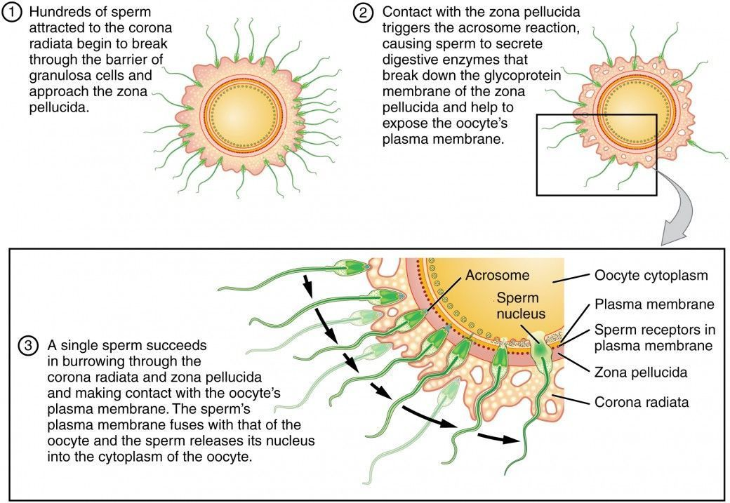 Sperm journey for fertilization