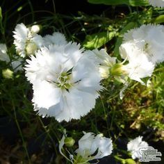 Brambleberry reccomend Dianthus barbatus midget mix Pron Pictures 2018
