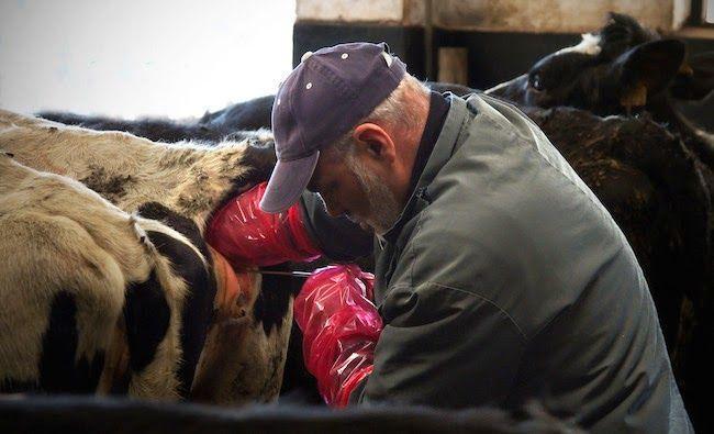 Catnip reccomend Cow vagina penetrated