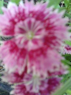 Dianthus barbatus midget mix Pron Pictures 2018